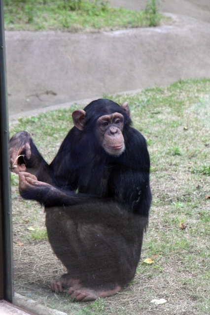 事故 パン 君 「動物と話せる女性」が読み取った「不祥事・チンパンジー」の心の中